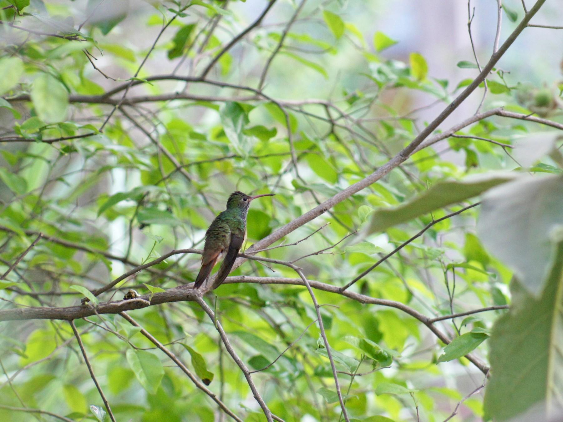 Buff-bellied Hummingbird - Pat Heirs