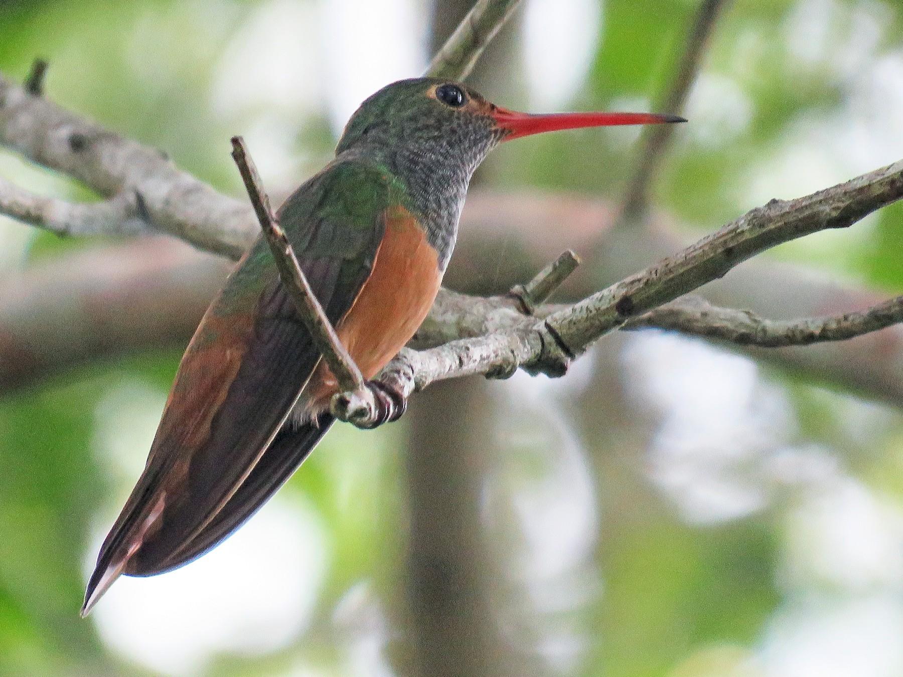 Buff-bellied Hummingbird - Yucatan Jay Expeditions
