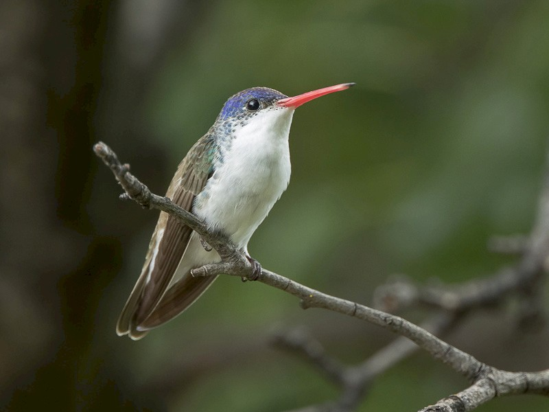 Violet-crowned Hummingbird - Dorian Anderson