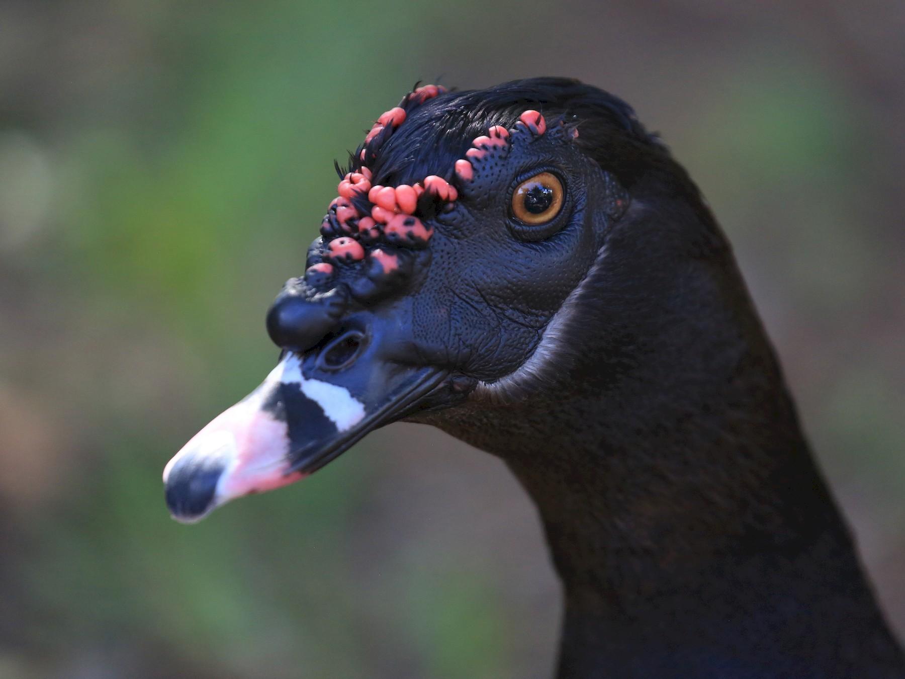 Muscovy Duck - Tim Lenz