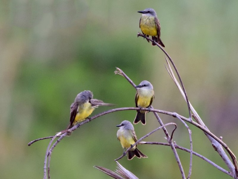Tropical Kingbird - Luis Guillermo