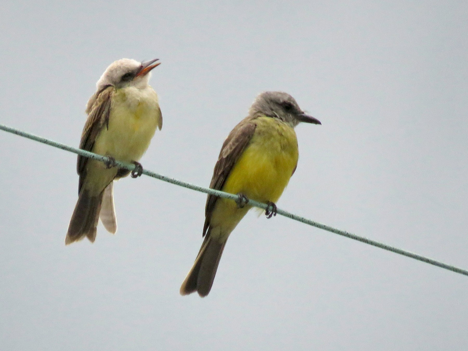 Tropical Kingbird - Rolando Jordan