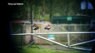Black-bellied Whistling-Duck, ML40643971