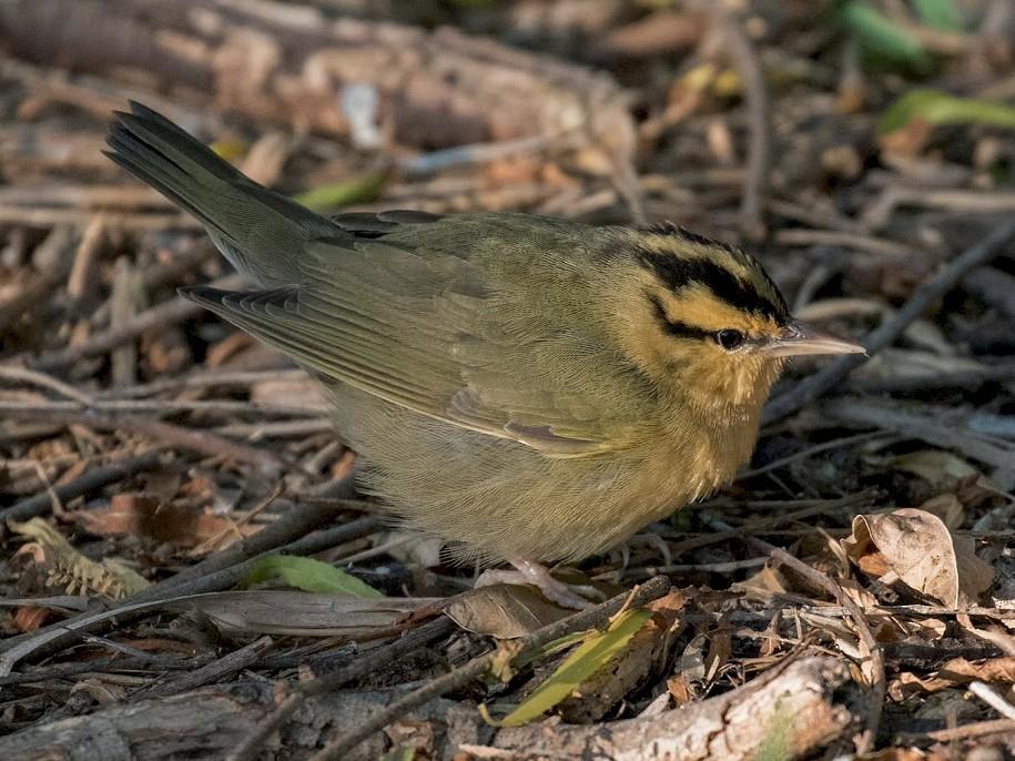 Worm-eating Warbler - Edward Plumer