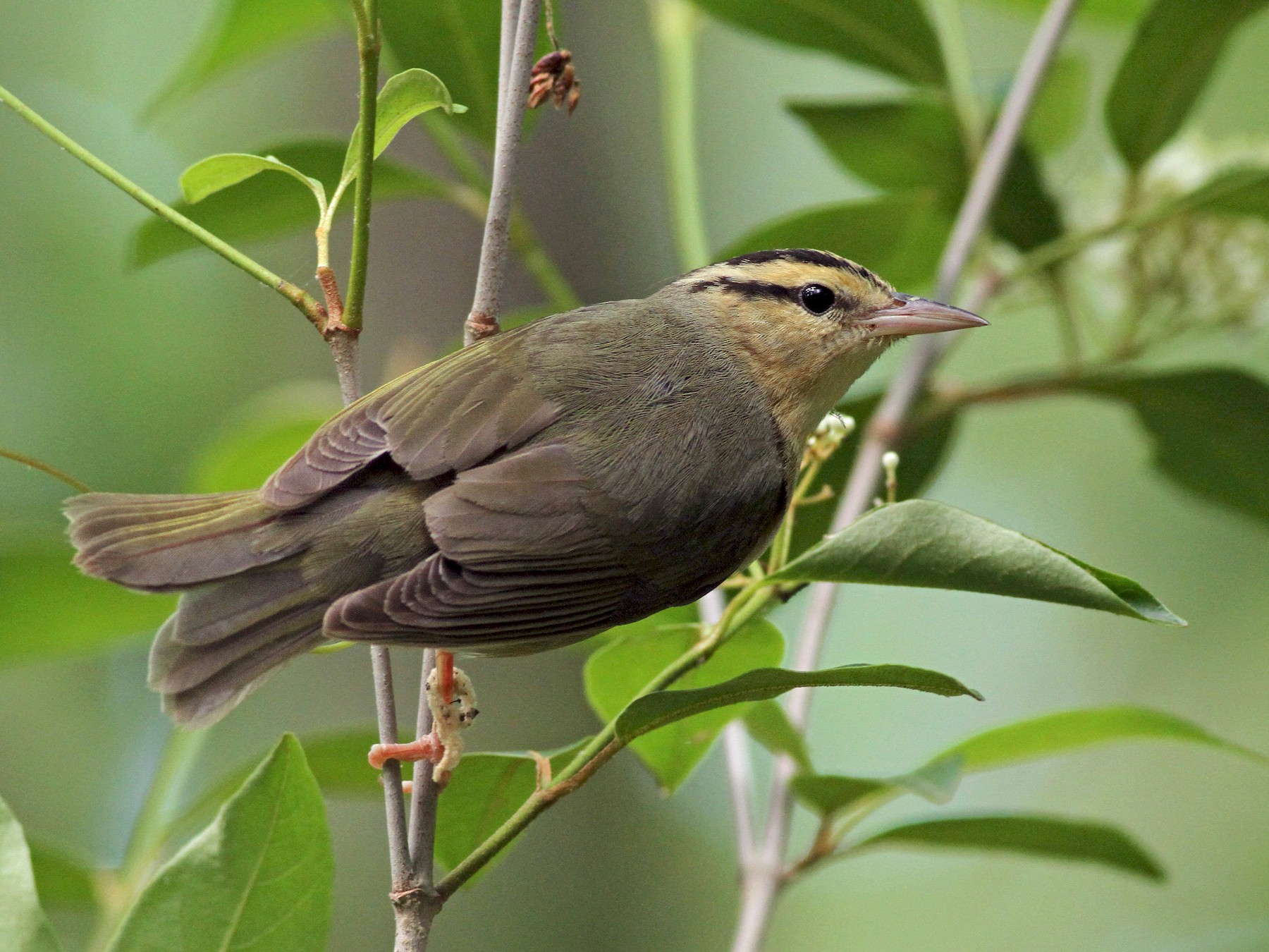 Worm-eating Warbler - Evan Lipton