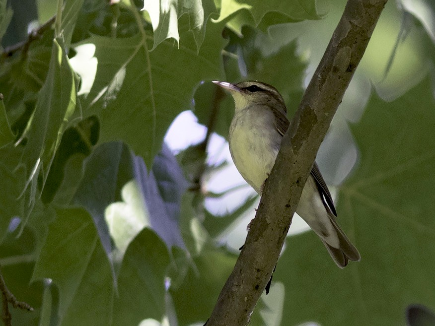 Swainson's Warbler - jerry amerson
