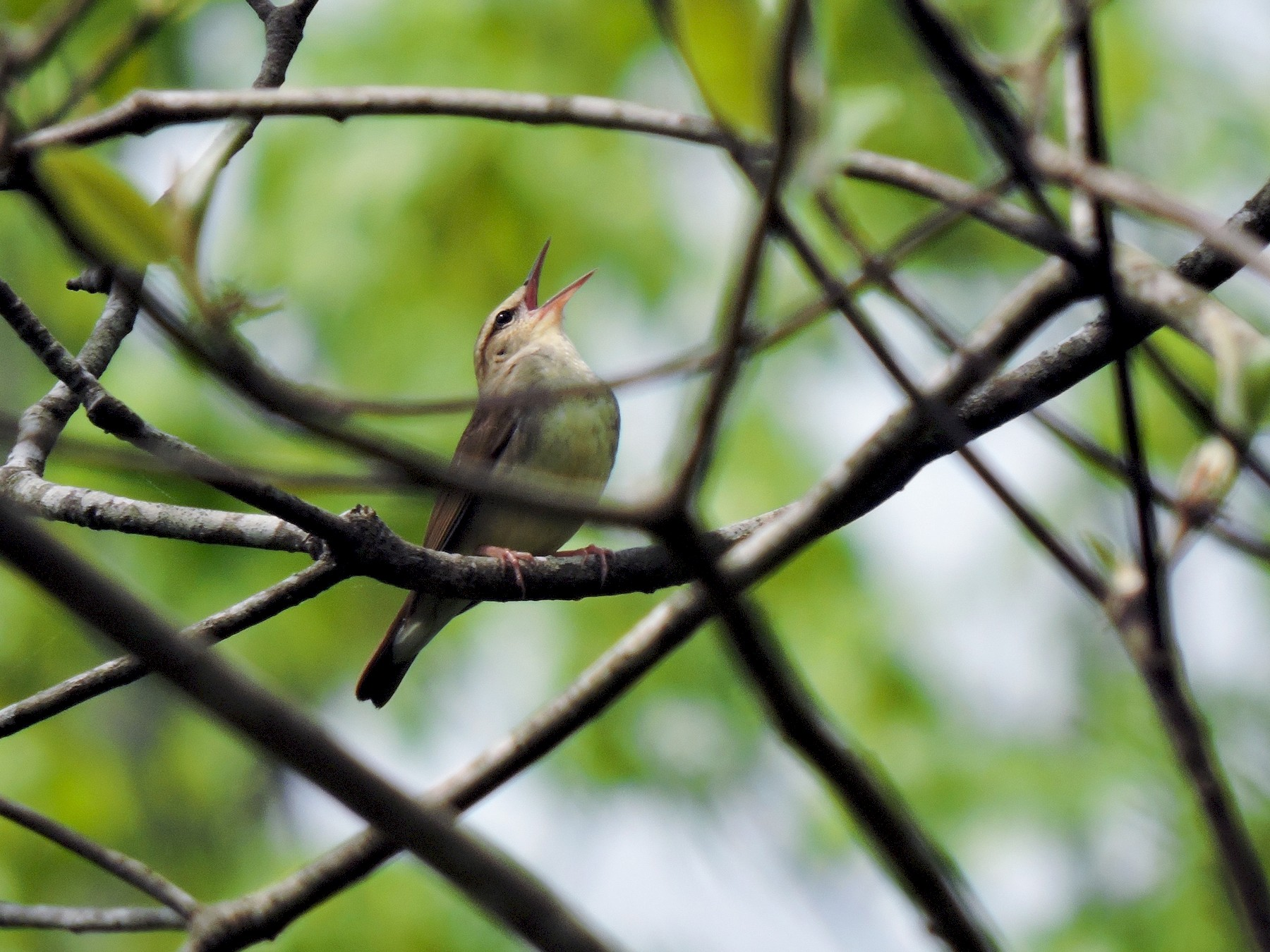 Swainson's Warbler - Keith Eric Costley