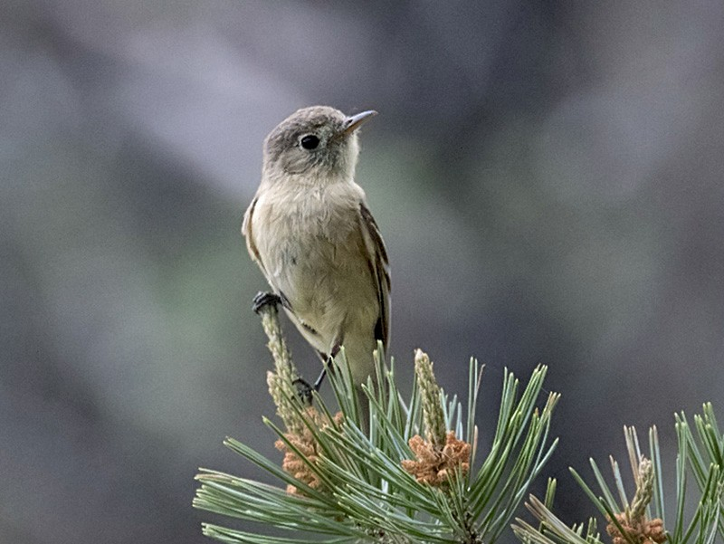 Buff-breasted Flycatcher - Arlene Ripley