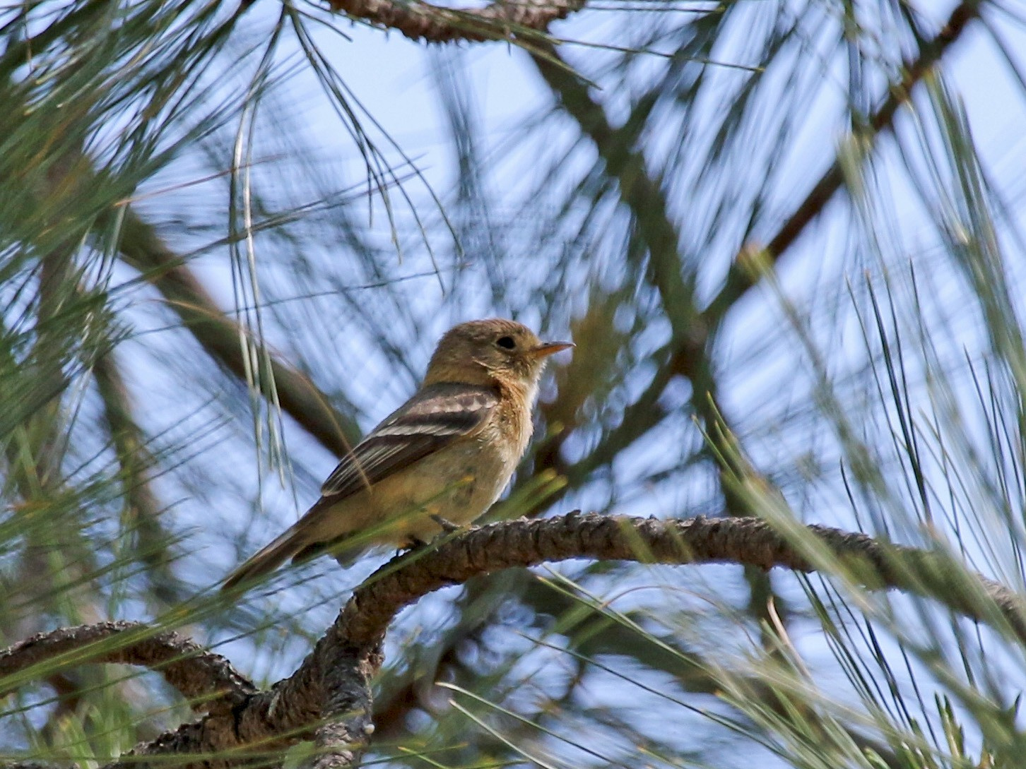 Buff-breasted Flycatcher - Evan Buck