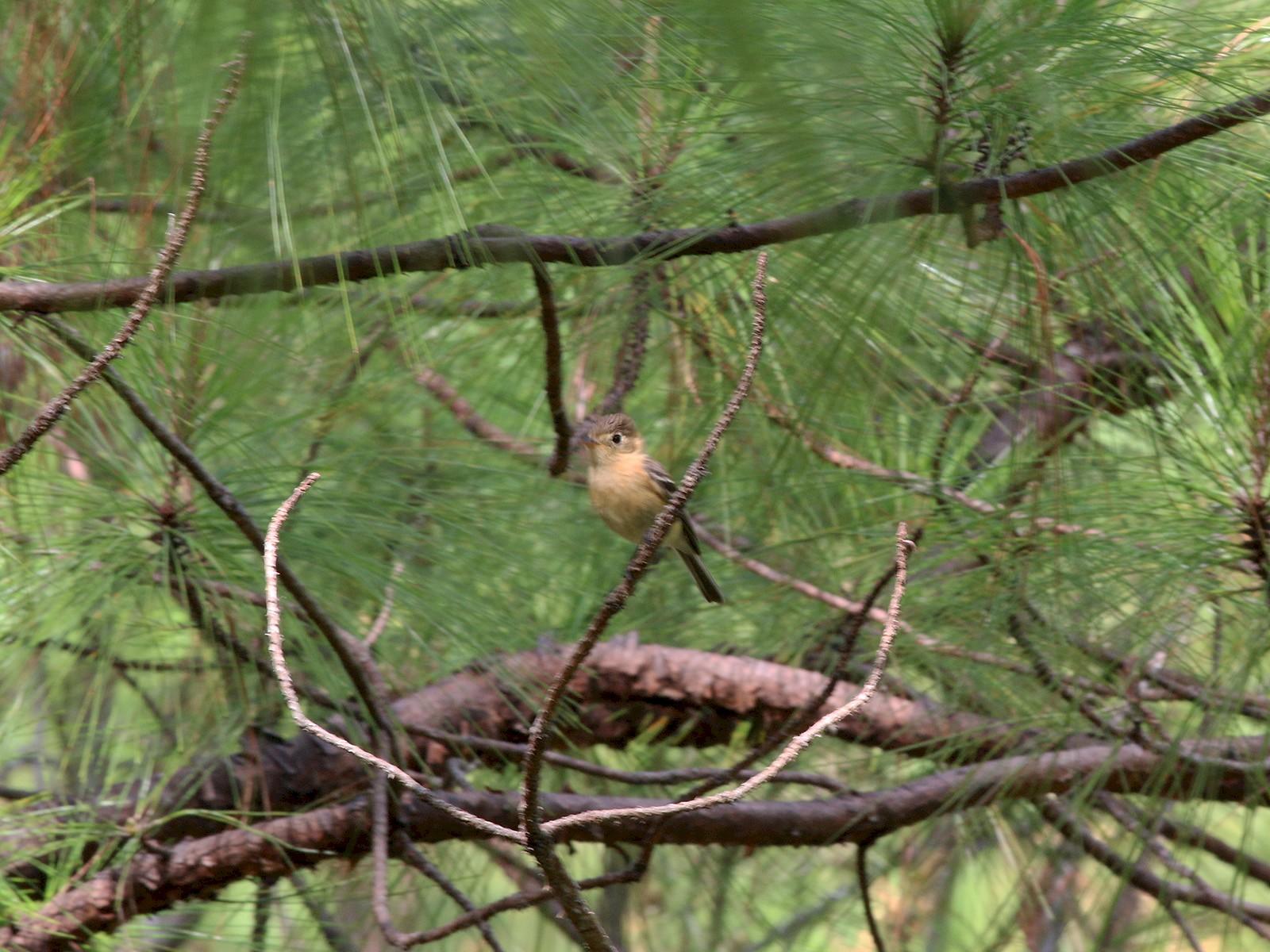 Buff-breasted Flycatcher - Johnathan Hruska