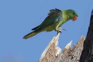 - Blue-naped Parrot