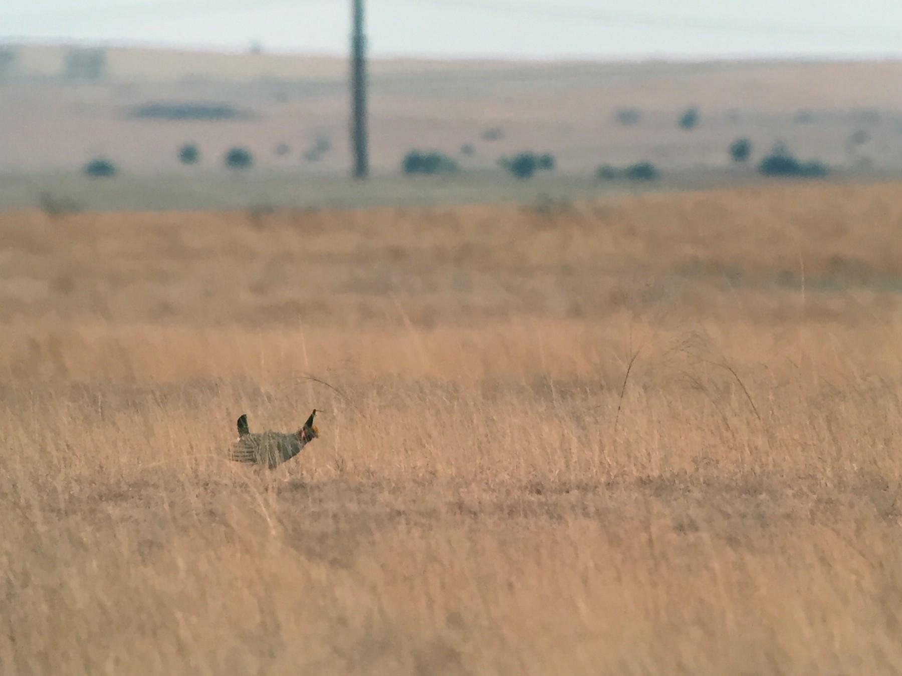 Lesser Prairie-Chicken - Sulli Gibson