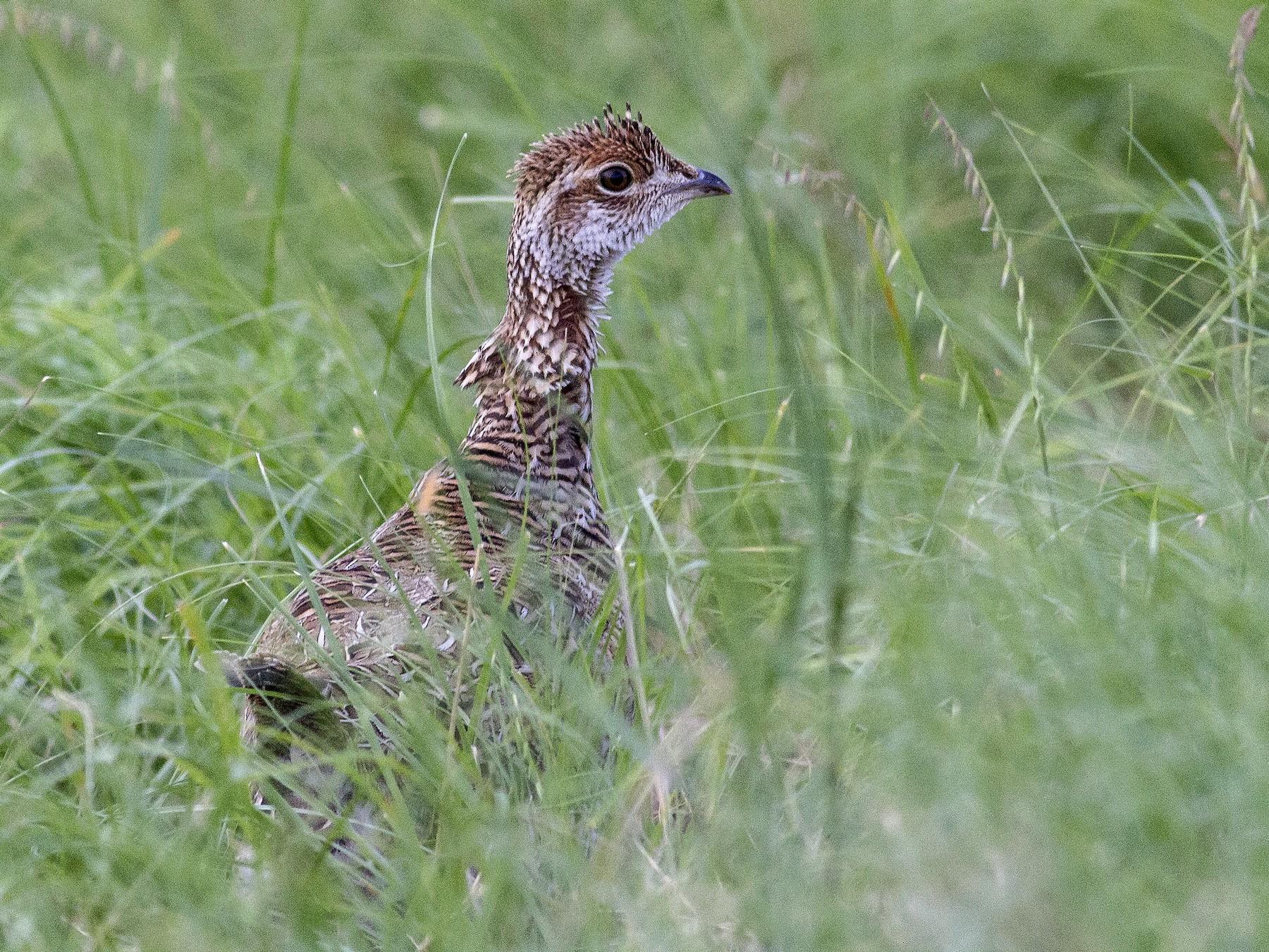 Lesser Prairie-Chicken - Jacob Drucker