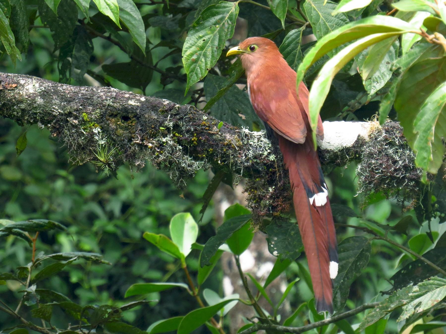 Squirrel Cuckoo - Juan Sebastian Moreno