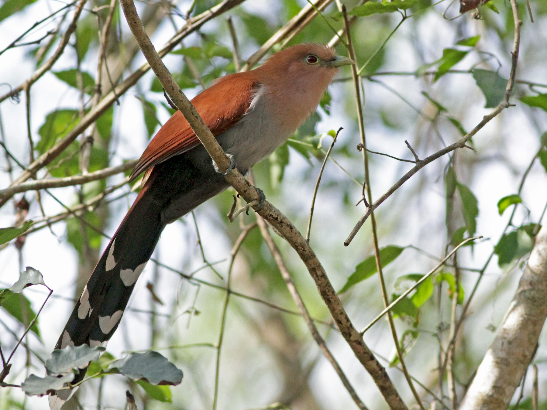 Squirrel Cuckoo - Ian Davies