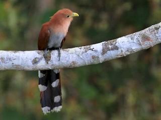- Squirrel Cuckoo