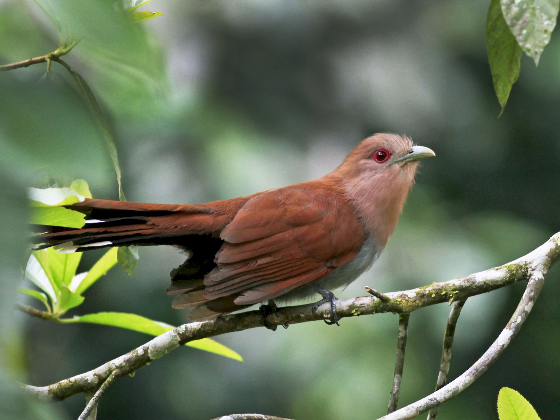 Squirrel Cuckoo - Scott (瑞興) LIN(林)