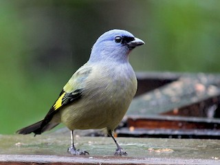 - Yellow-winged Tanager