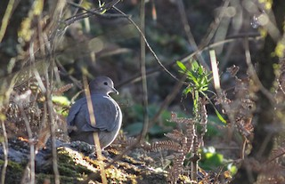 - Large-tailed Dove