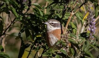- Bolivian Warbling-Finch