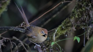 - Black-throated Thistletail