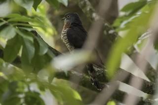 - Dark Hawk-Cuckoo