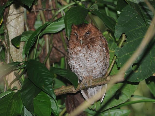Middle American Screech-Owl