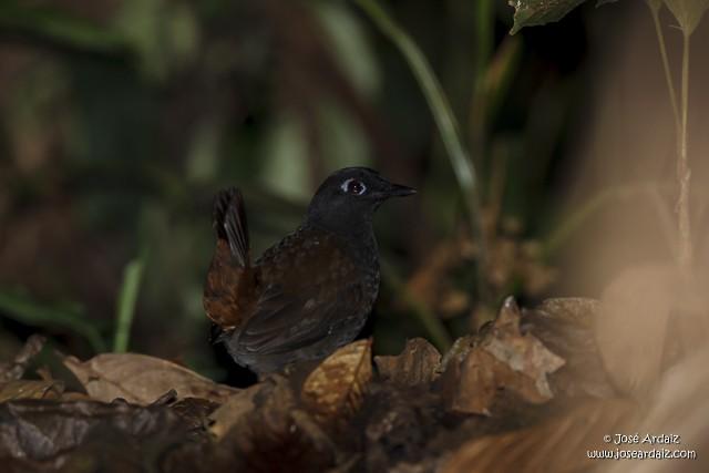 Black-headed Antthrush