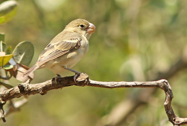 Parrot-billed Seedeater