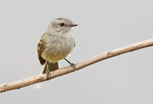 Mouse-colored Tyrannulet (Tumbes)