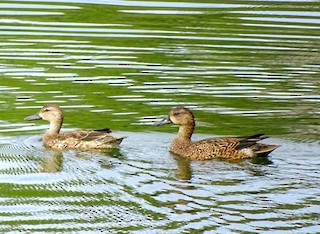 Blue-winged Teal, ML40901031