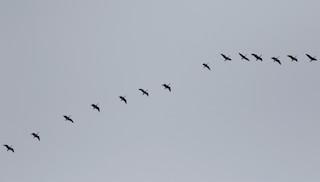 Canada Goose, ML41052191