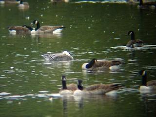 Snow Goose, ML41132131