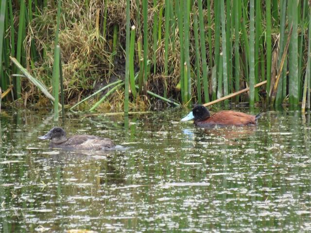 Andean Duck (ferruginea)
