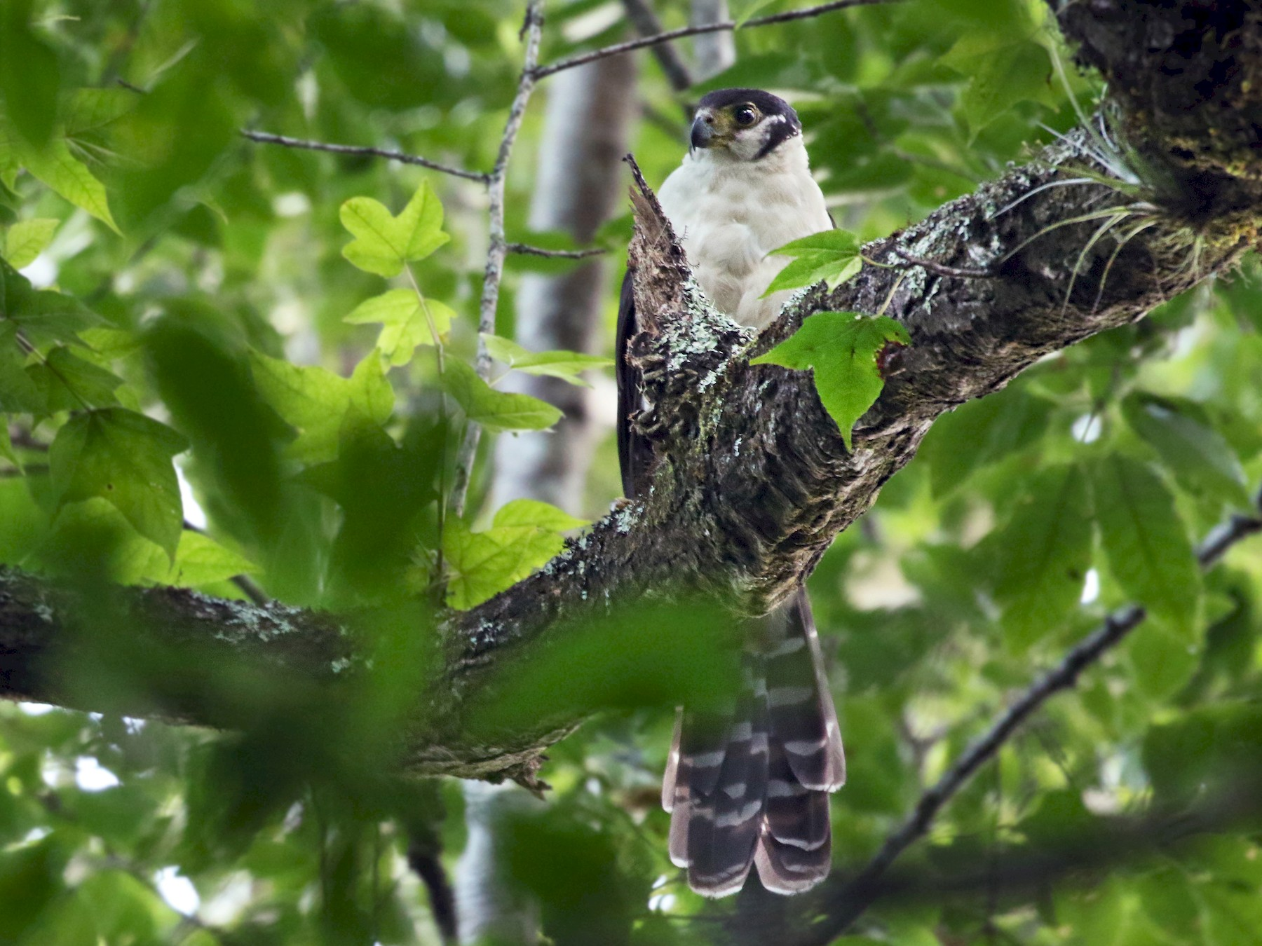 Collared Forest-Falcon - Andrew Spencer