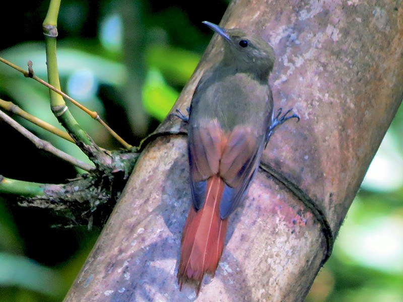Olivaceous Woodcreeper - Matt Kelly
