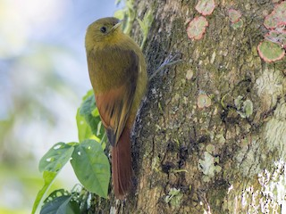 - Olivaceous Woodcreeper