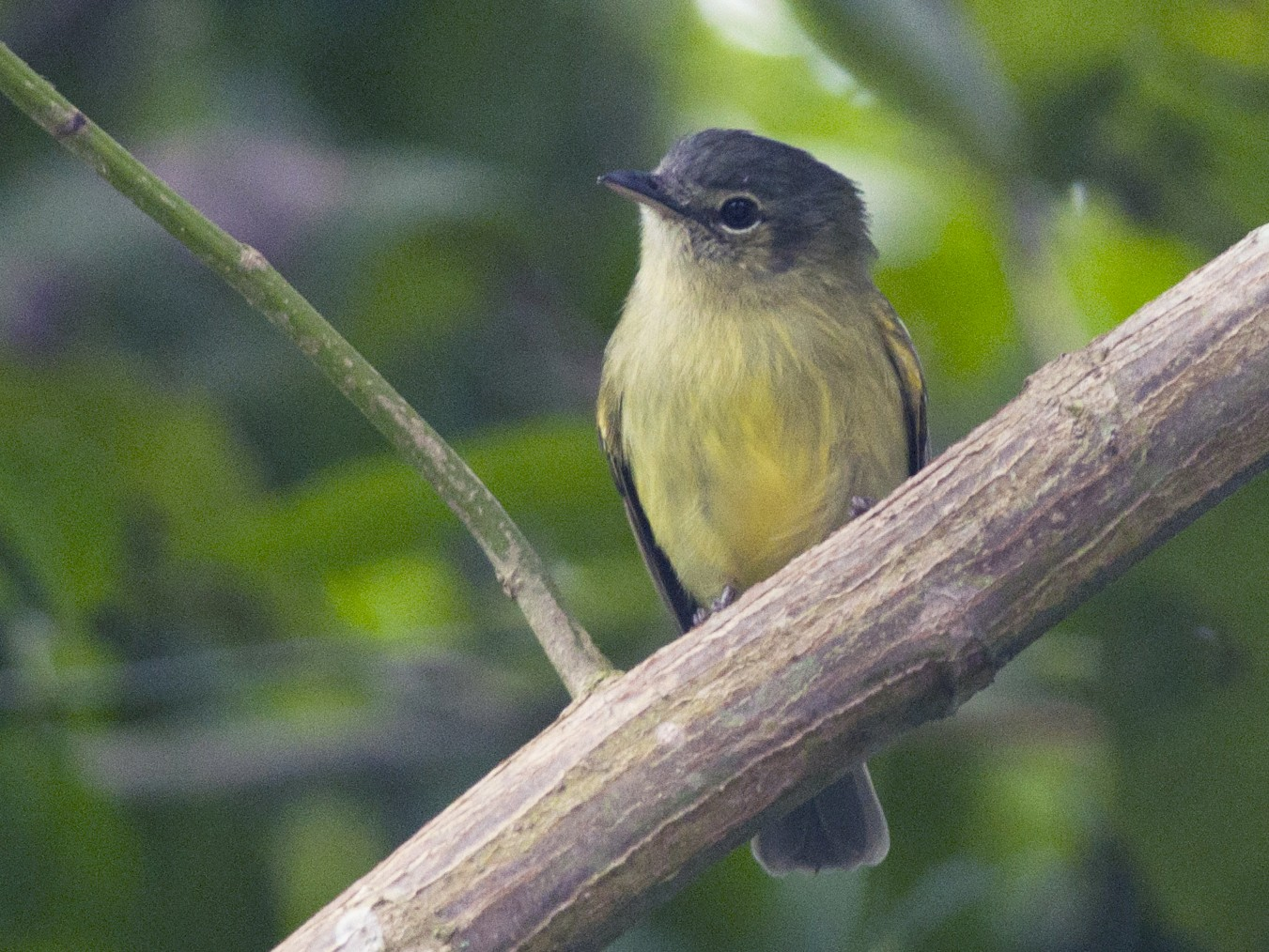 Yellow-olive Flycatcher - Giselle Mangini