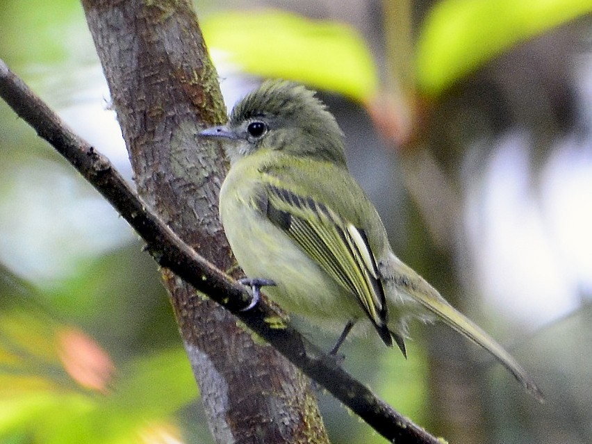 Yellow-olive Flycatcher - Stephen Jones