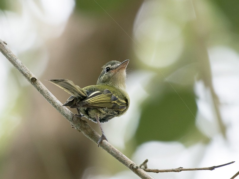 Yellow-olive Flycatcher - Silvia Faustino Linhares
