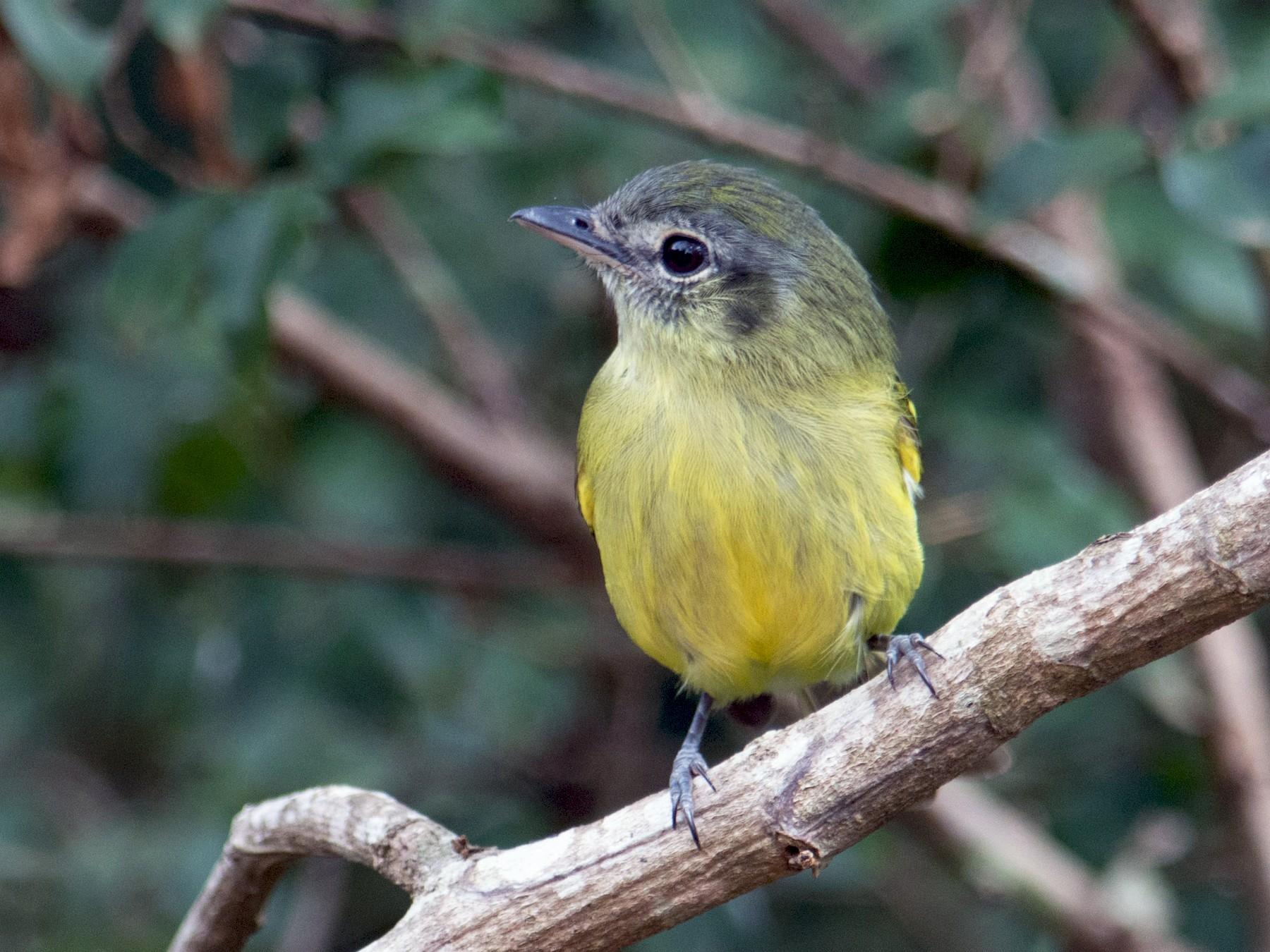 Yellow-olive Flycatcher - Hudson - BirdsRio