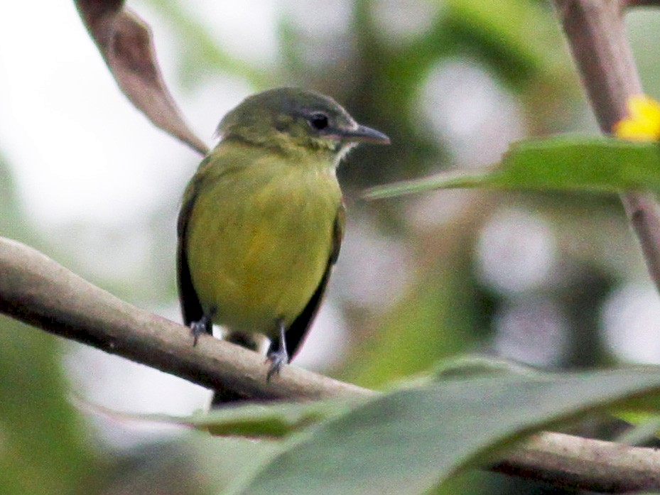 Yellow-olive Flycatcher - Jay McGowan