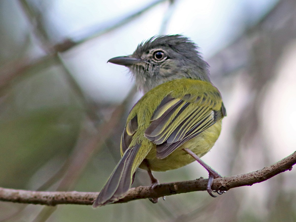 Yellow-olive Flycatcher - John Drummond
