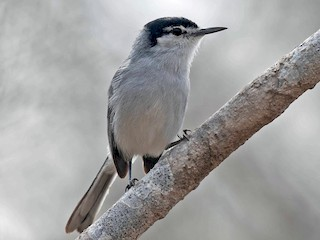 - White-lored Gnatcatcher