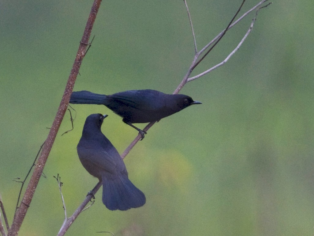 Black Catbird - John Cahill xikanel.com