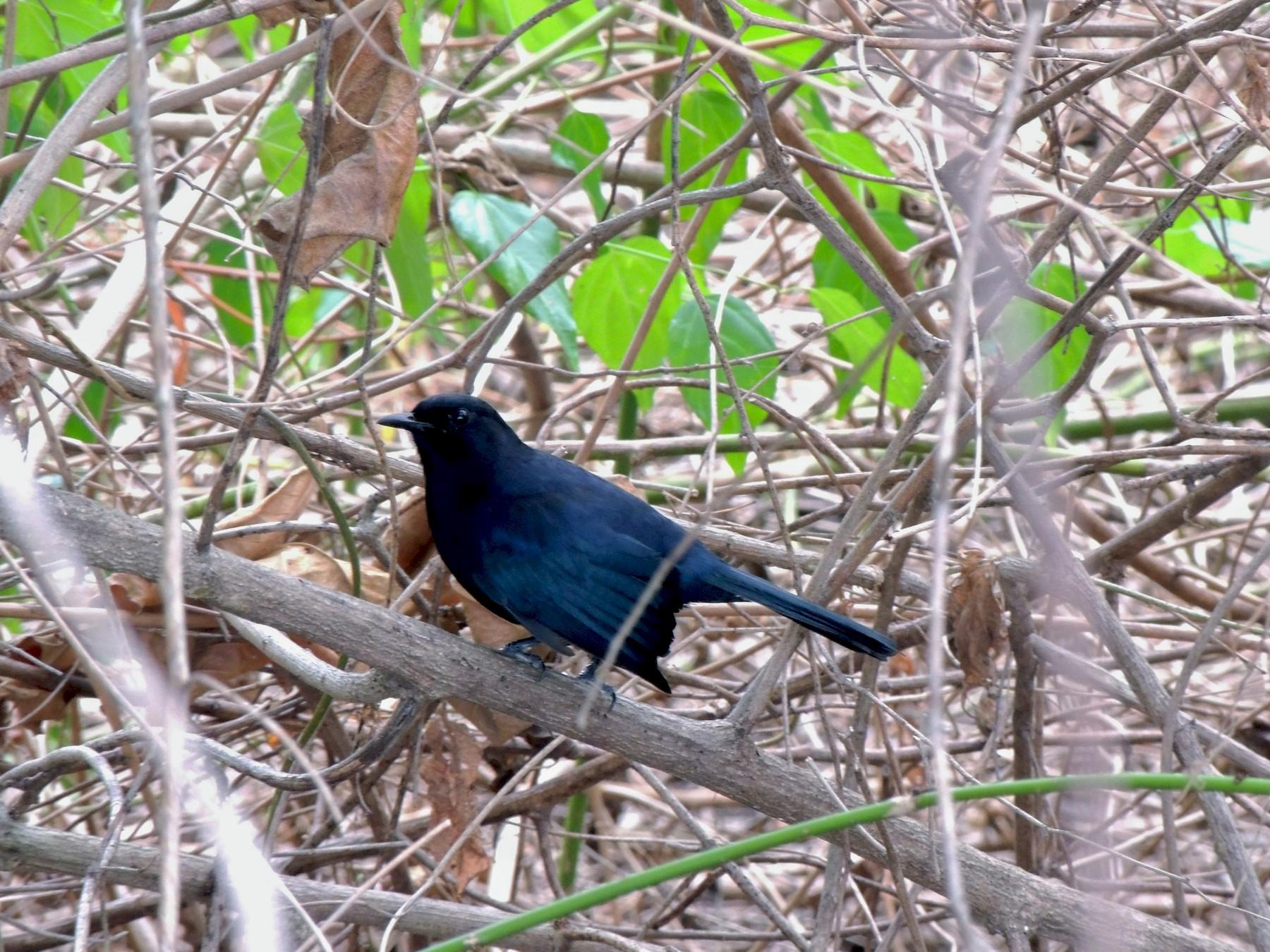 Black Catbird - John Haas