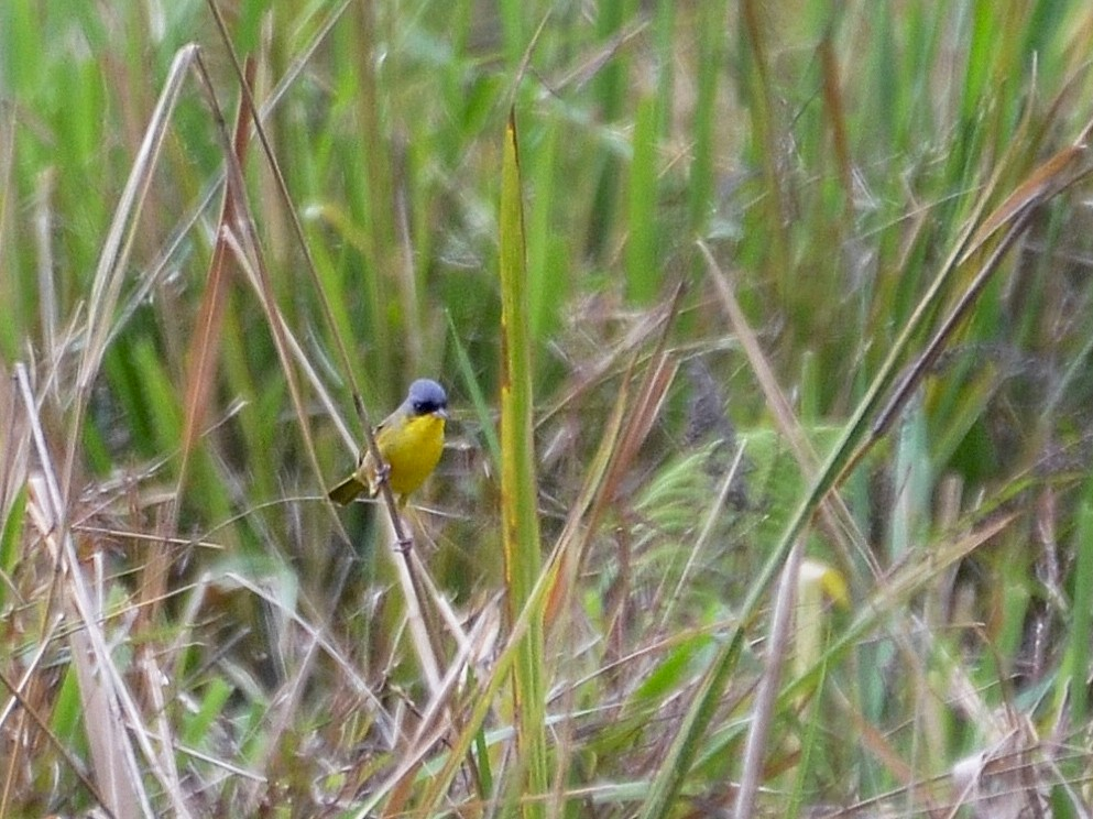 Gray-crowned Yellowthroat - Ron Furnish