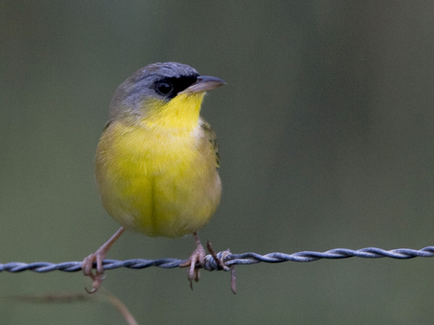 Gray-crowned Yellowthroat - Brian Sullivan