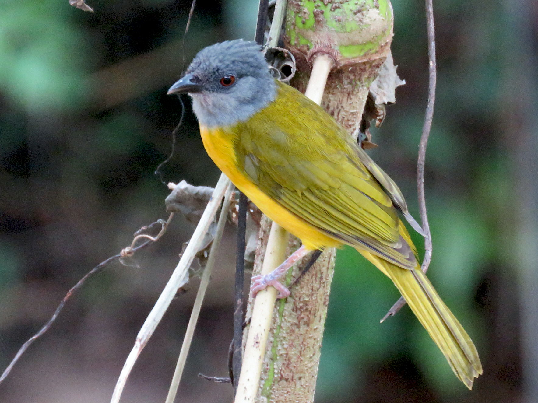 Gray-headed Tanager - Ruben  Stoll