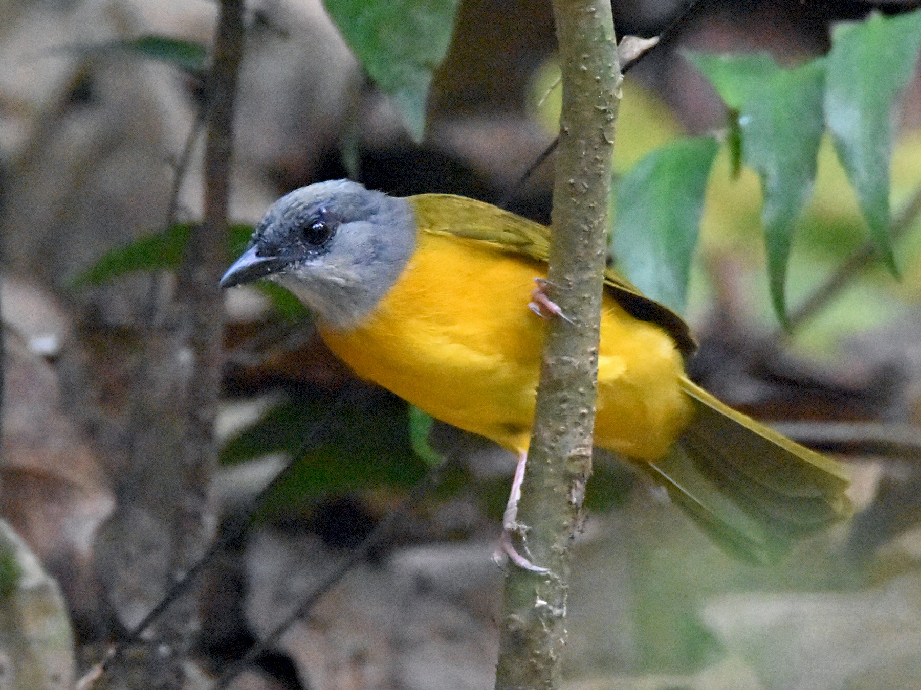 Gray-headed Tanager - Luke Berg